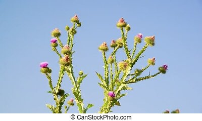 Thistle thorns against the sky - Thistle thorns (Latin...