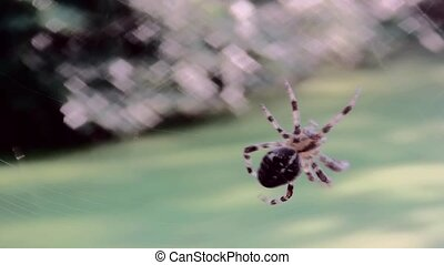 CloseUp of Crossspider at work. - Macro footage of Cross...
