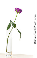 purple rose - An image of a nice purple rose