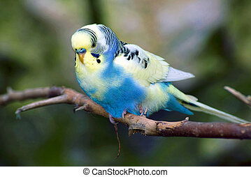 Blue and yellow Parakeet. - Small blue and yellow Parakeet...