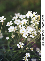 Cerastium tomentosum (Snow-in-Summer) or mouse-ear...