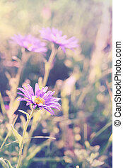 Aster alpinus (Alpine aster) macro, toned using filters,...
