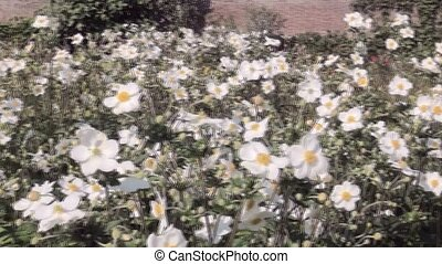 Pan over Anemone hybride (Honorine Jobert) in Castle garden.