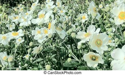 Pan over Anemone hybride (Honorine Jobert) in Castle garden....