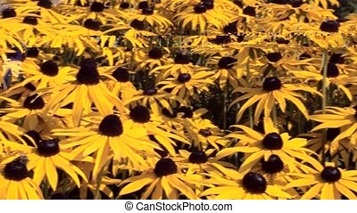 "Pan over Rudbeckia fulg. ""Goldstorm"" in Castle Garden. -..."