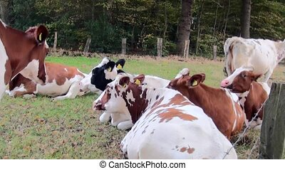 Ruminating cow in the meadow - Young cows (pints) graze and...
