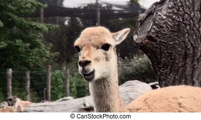 Zoom In on the chewing llama - Llama (Lama glama), sometimes...