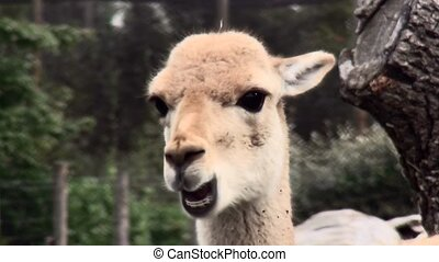 Clos Up of the Llamas - Llama (Lama glama), sometimes called...