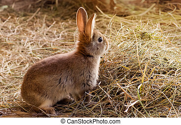Red rabbit sitting on the hay - Young red rabbit sitting on...