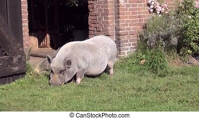 Close Up of a potbellied pig - Potbellied pig in the garden...