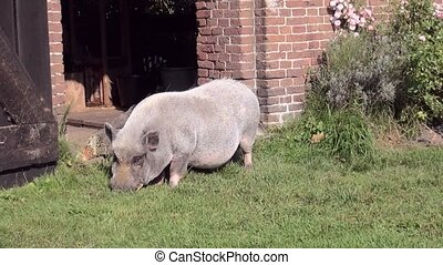 Close Up of a potbellied pig - Potbellied pig in the garden....