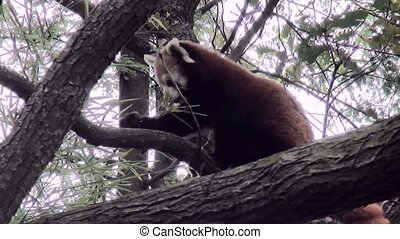 Little Panda in the tree. (Ailurus fulgens) - The little...