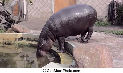 Little hippo in Zoo Blijdorp (Holland). The pygmy...
