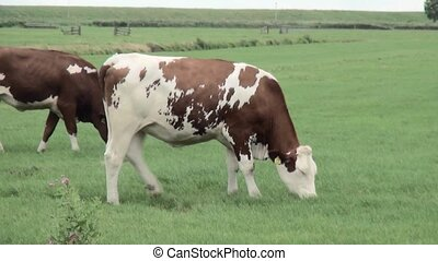 Two young cows eat in the pasture. - Young Cows grazing on...