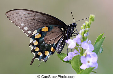 Pipevine Swallowtail Butterfly - Battus philenor