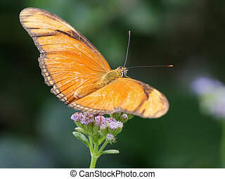 Julia Heliconian Butterfly - Dryas iulia
