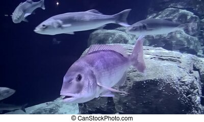 Fish past left. - Sea aquarium in the zoo Blijdorp in...
