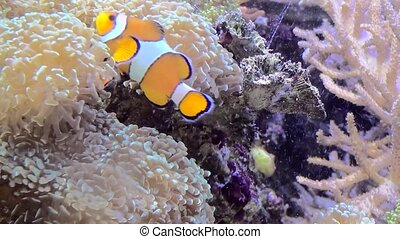 Three Band Clownfish in clear water. - True Percula...