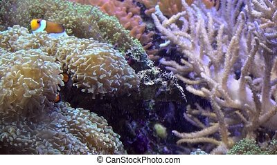 Three Band Clownfish looks for protection. (Amphiprion...