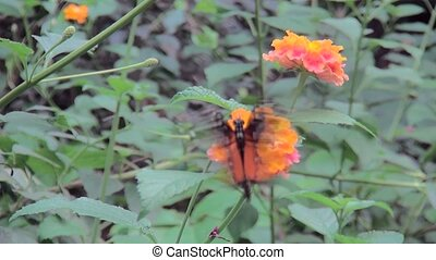 Borboleta Orange Butterfly (Heliconius hecale) on orange...