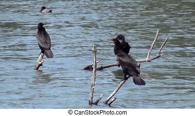 Cormorant drying feathers - The cormorant (Phalacrocorax...