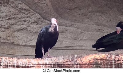 Northern bald Ibis (Geronticus eremita) - Northern bald...