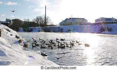 Ducks fed bread. Winter. UltraHD (4K)