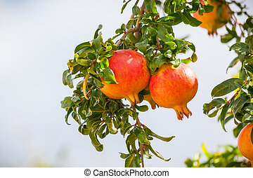 This is a photograph of Pomegranate fruits.