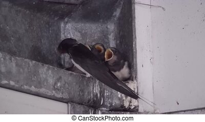 Swallow carries the little birds - Young swallow have a nest...