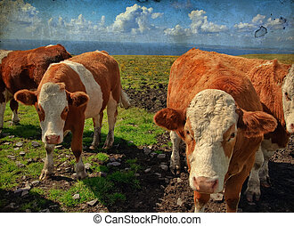 vibrant stock photo of cowsbulls over looking the ocean -...