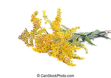 Field Goldenrod plant - Wild plants Goldenrod on a white...