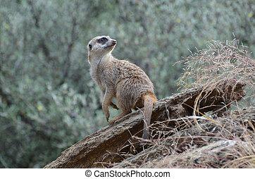 Fantastic Look at a Meerkat in the Wild - Wild meerkat...