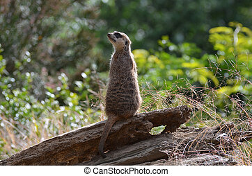 Up Close with a Meerkat Sentry - Getting up close with a...