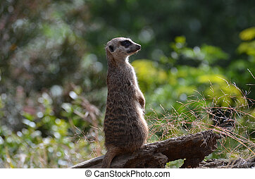 Meerkat Sentry Standing at Attention - Meerkat sentry on...