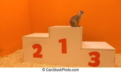 Cute meercat sitting at first place on a victory podium...
