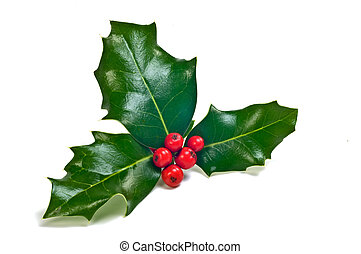 Holly sprig - Sprig of fresh holly with glossy green leaves...