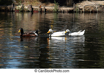 Ducks on water - A group of ducks swimming on the river in...