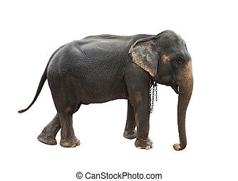full body side view of female indian elephant with steel...