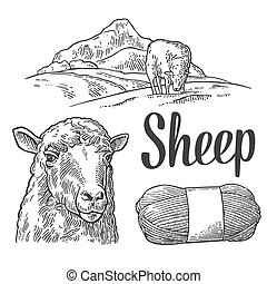 Sheep on meadow and yarn. Vintage vector engraving illustration