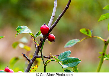Rosehip in the Fall 2