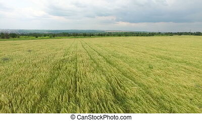 Aerial view. Field of golden wheat - Field of ears of wheat...