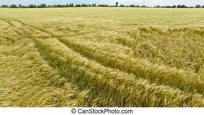 Field of ears wheat are moving nicely in the wind - Field of...