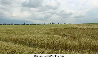 Field of golden wheat. Aerial view - Field of ears of wheat...