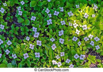 Iris Sibirica - Blue Iris Sibirica in full bloom in the...