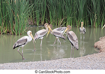 Painted storks standing with the Lake Background
