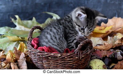 Kitten in a wicker basket with red tulle yawning