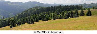 Picturesque spruce grove on slope of Feldberg mountain in...