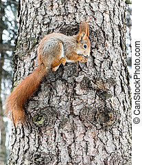 small red squirrel with bushy tail on tree trunk holding nut in its paws