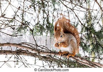 small red squirrel with bushy tail sitting on fir branch, eating nut