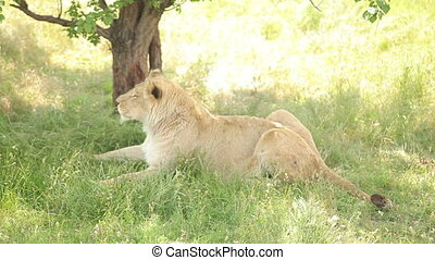 Lioness resting in the shade of a tree